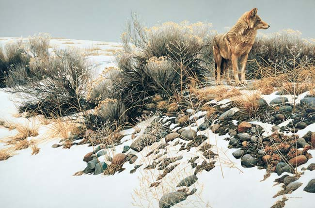 Robert Bateman - Coyote in Winter Sage