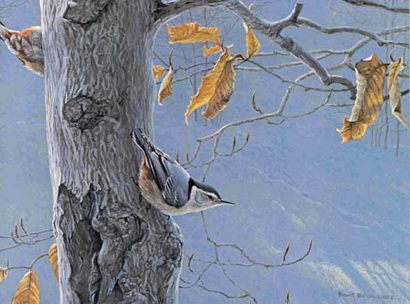 Robert Bateman - White-Breasted Nuthatch on a Beech Tree