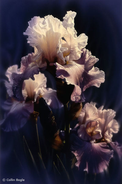 Collin Bogle - Purple Iris