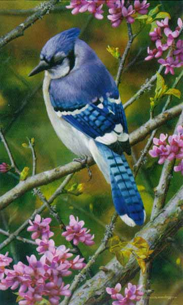 Carl Brenders - Flash of Sapphire - Blue Jay