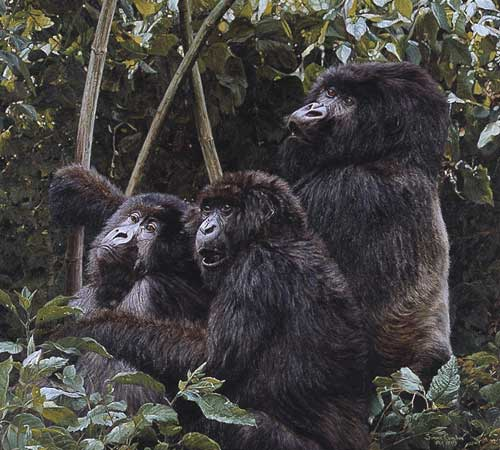 Simon Combes - Mountain Gorillas