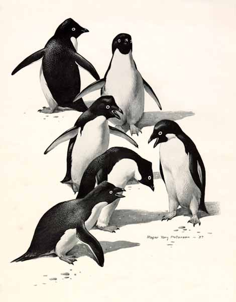 Roger Tory Peterson - Adelie Penguins