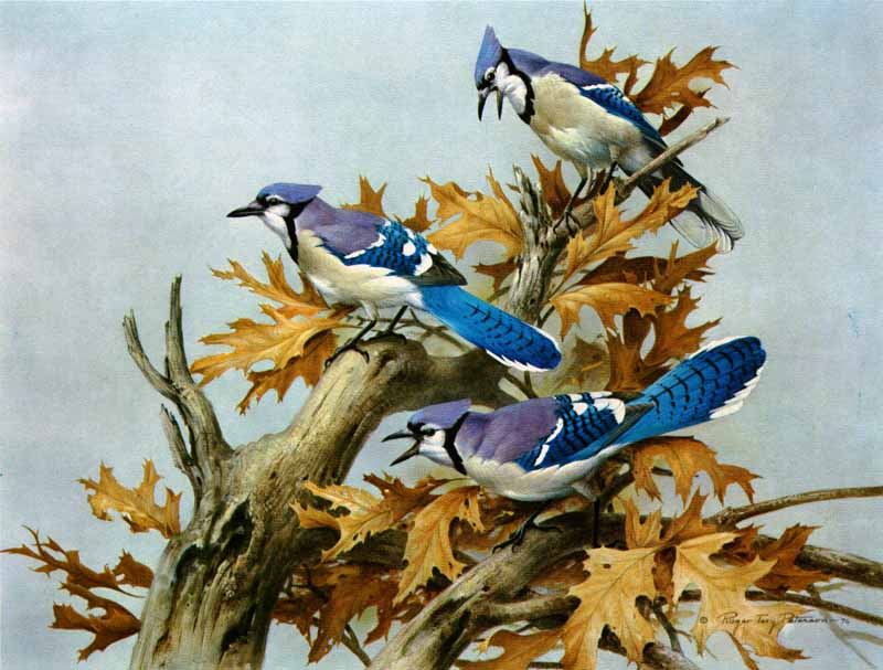 Roger Tory Peterson - Blue Jay