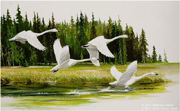 Maynard Reece - Along the River - Trumpeter Swans