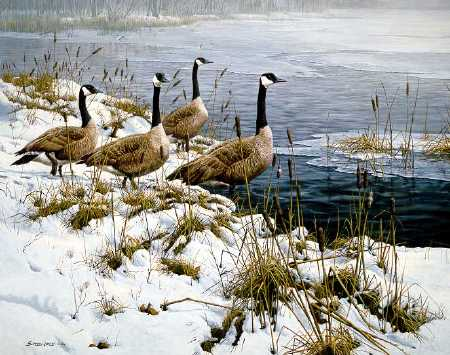 John Seerey-Lester - Among the Cattails - Canada Geese