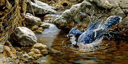 John Seerey-Lester - Bathing - Blue Jay