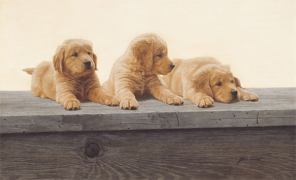John Weiss - Golden Retriever Puppies