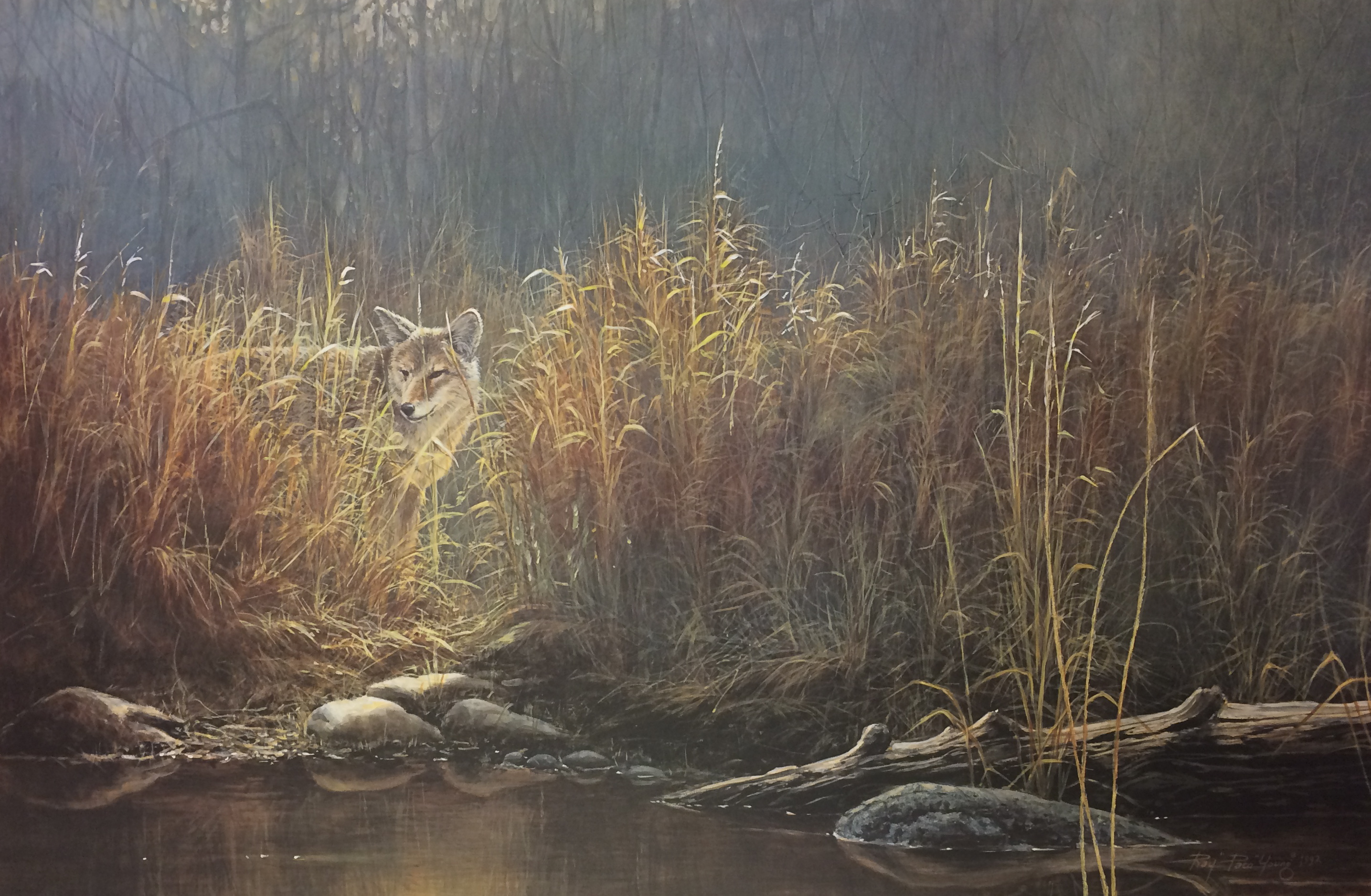 Paco Young - Evening Glow - Coyote